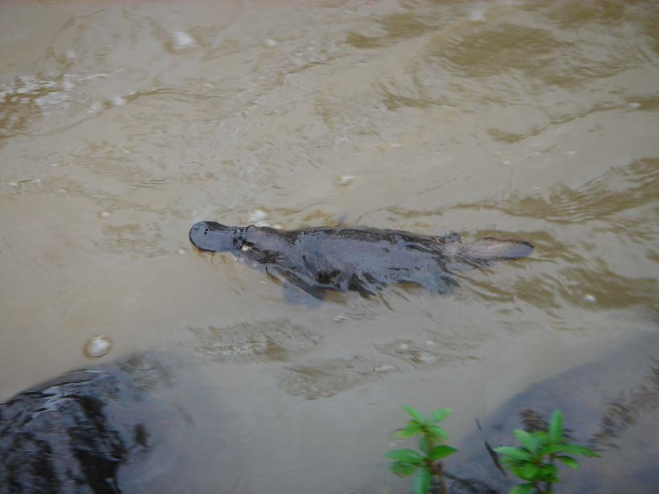 梦佳里瀑布有许多野生动物,鸭嘴兽和蝴蝶最为出名